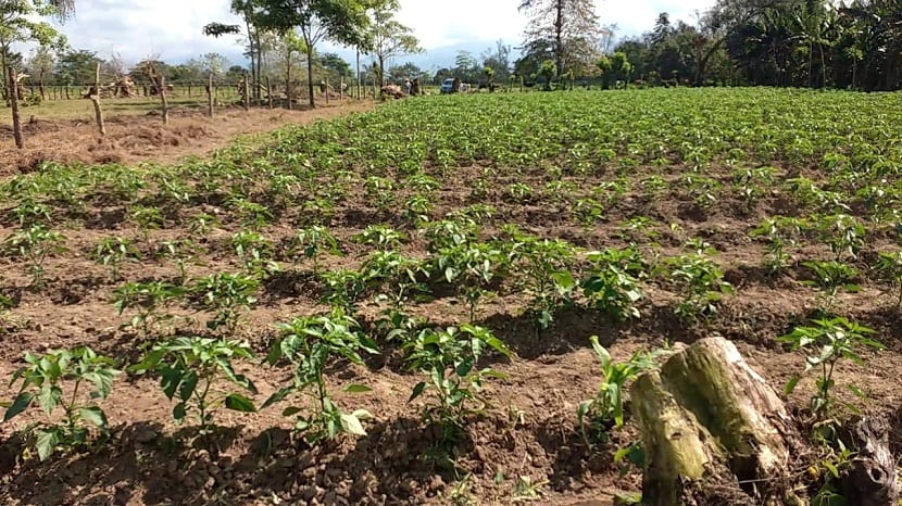cultivo del chile jalapeño