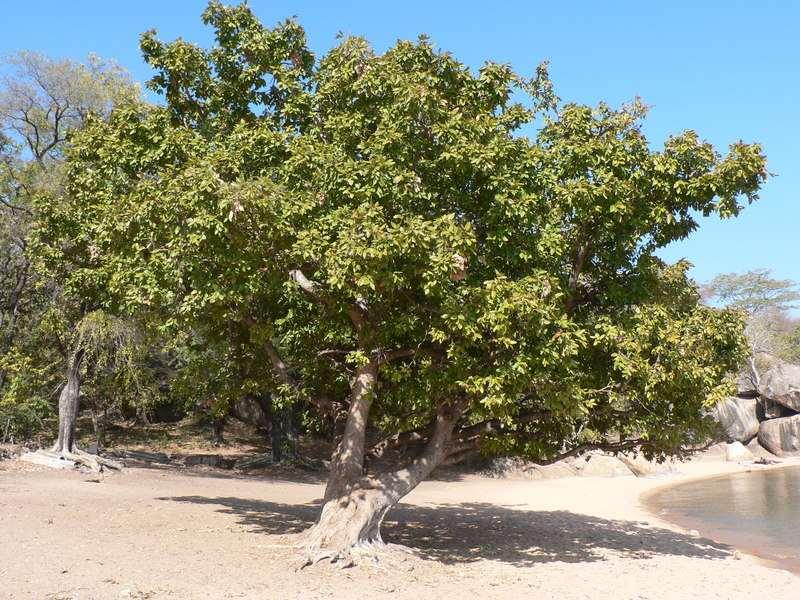 Vista de un Ficus ingens