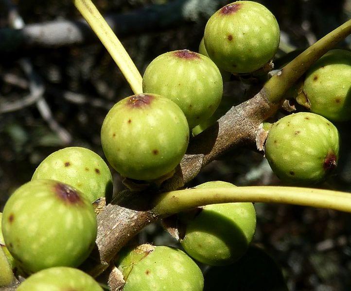 Higos del Ficus ingens