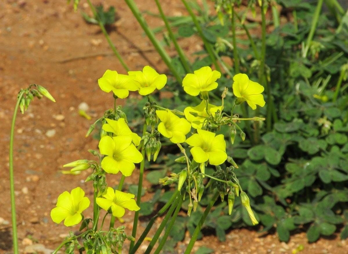 El vinagrillo tiene flores amarillas