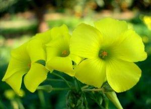 Flor de vinagrillo