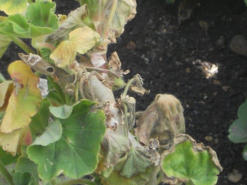 mariposas de geranio o Barredor del Geranio