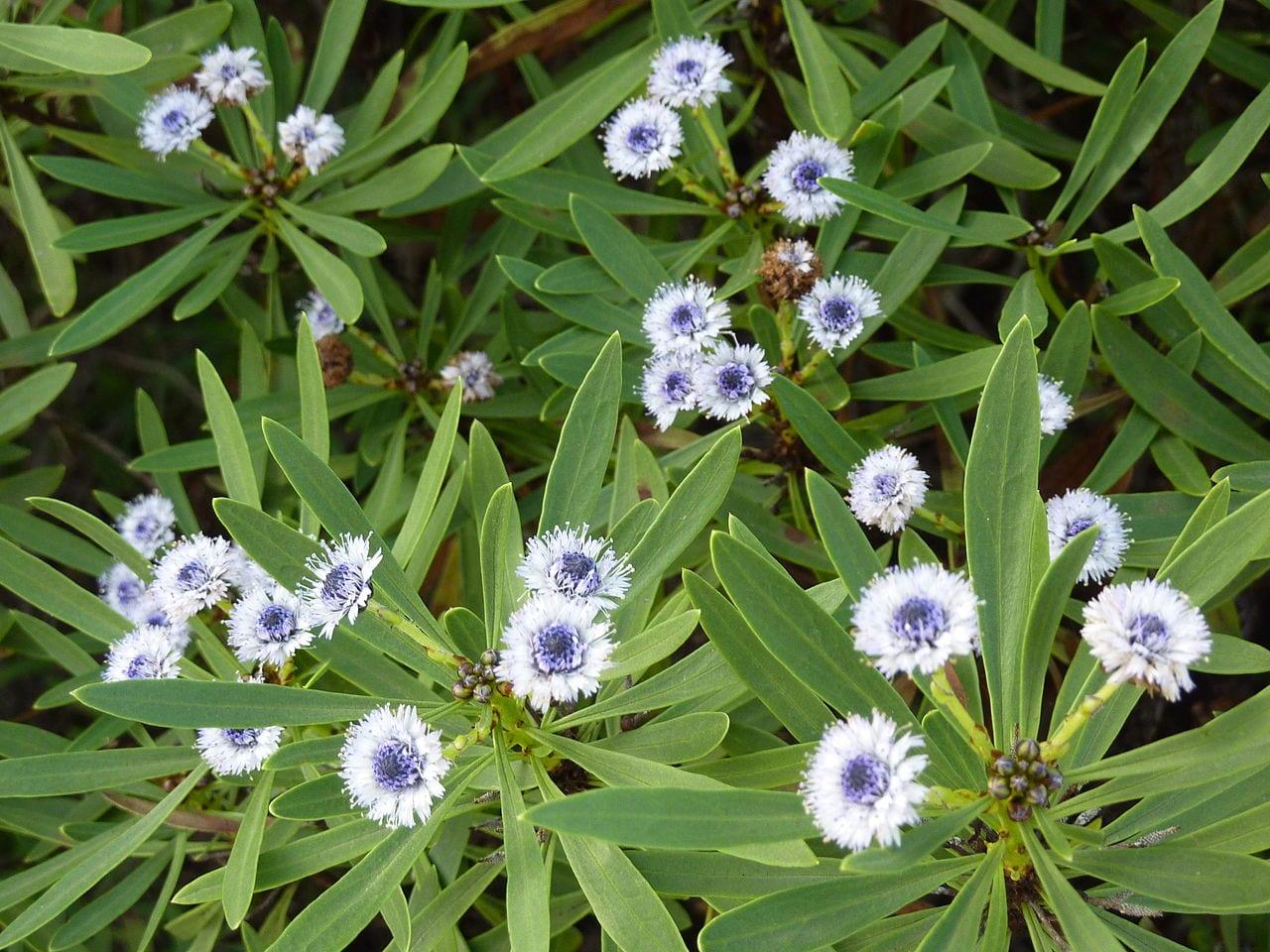 Flores de la Globularia salicina