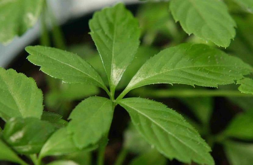 Gynostemma pentaphyllum o también conocido con el nombre común de Jiaogulan
