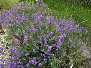 La planta de Lavandula latifolia es un arbusto muy decorativo