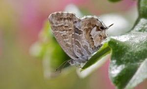 las mariposas del geranio son una autentica plaga