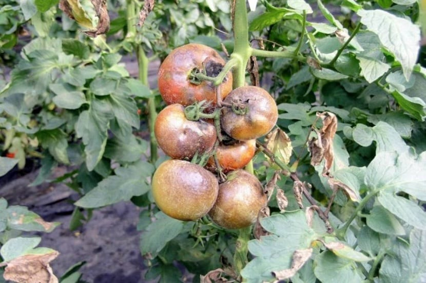 mildiu en el cultivo de tomates