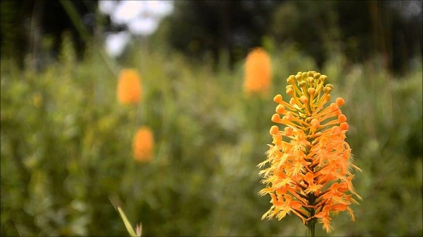 En lasflorestas depinos, bosques y prados húmedos de Estados Unidos, crece esta preciosa y rara orquídea de gran tamaño