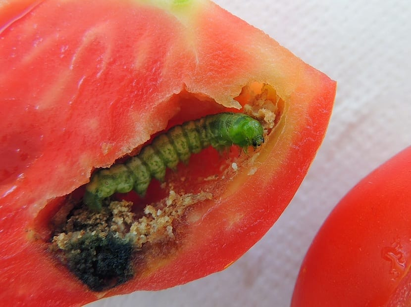 orugas de mariposas en tomates