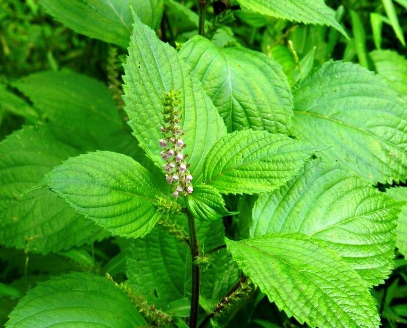 Conoce a la perilla, una hierba medicinal e increíblemente decorativa