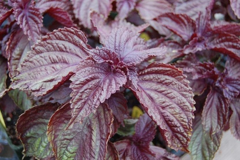 La Perilla frutescens es una herbácea muy ornamental