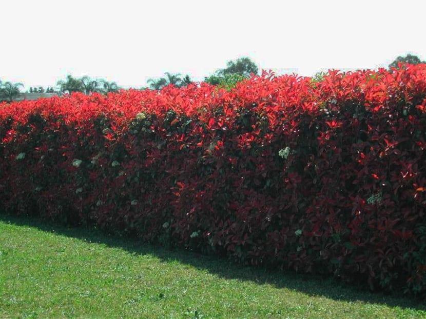 photinia fraseri en jardines