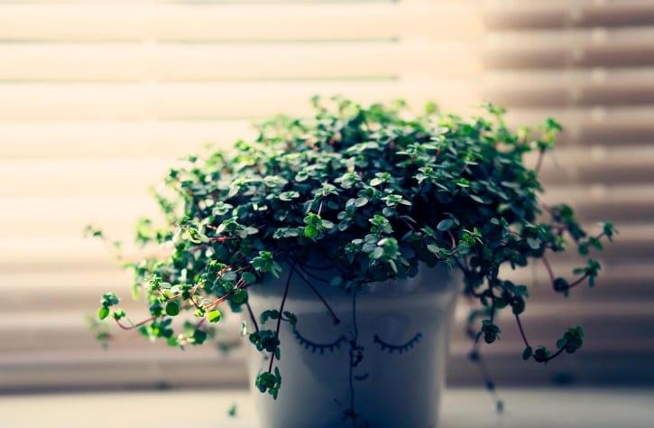 Planta en cubremaceta