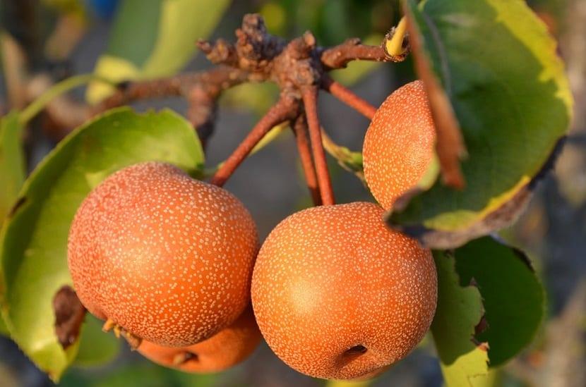 Pyrus pyrifolia o comúnmente conocido con el nombre de nashi