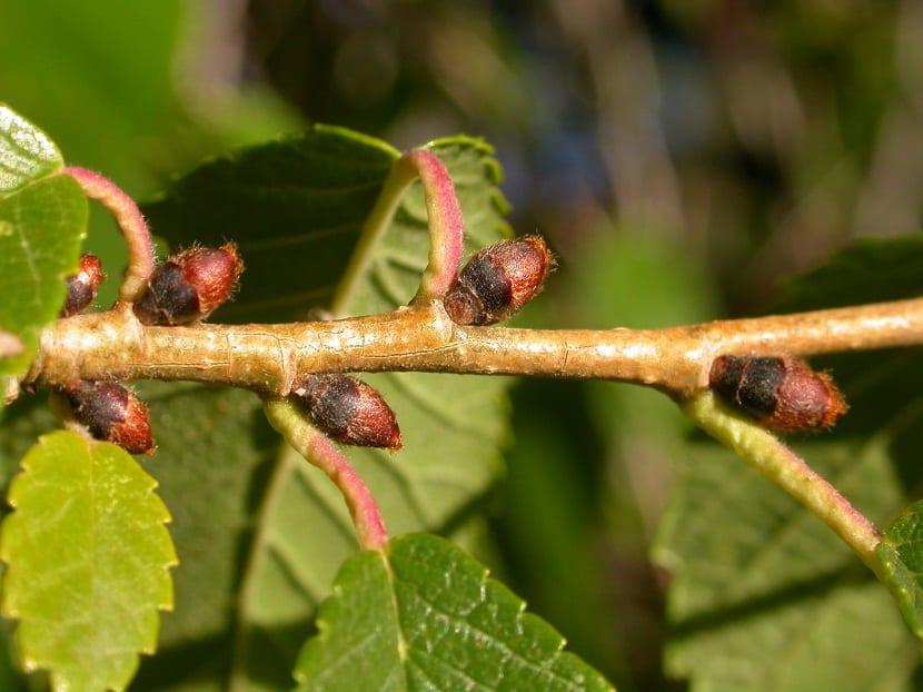 El Ulmus pumila (olmo de Siberia) es originario de Siberia