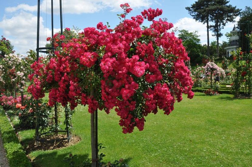 Planta de rosal sevillano