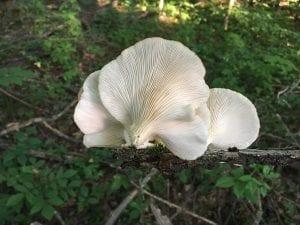 La seta de cardo es una de las variedades de hongos que se pueden comer que existen en Sierra Espuña.