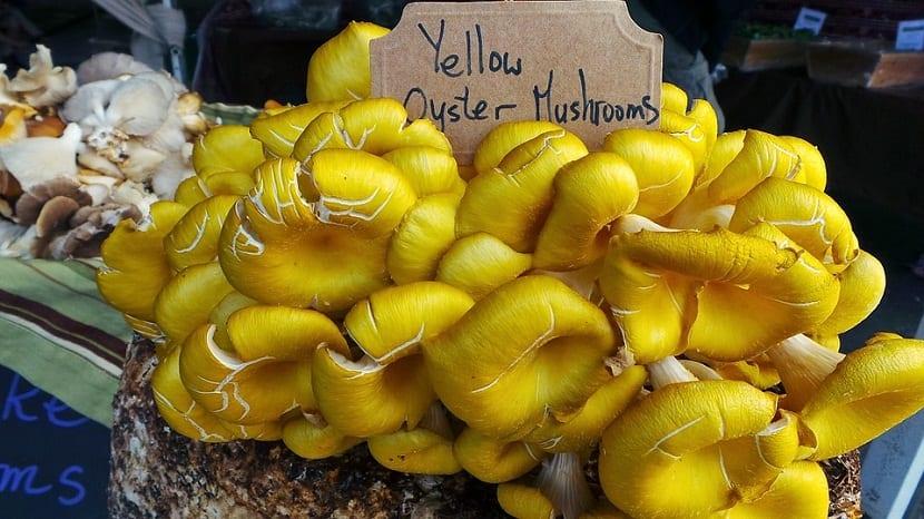 Cultivo del Pleurotus eryngii