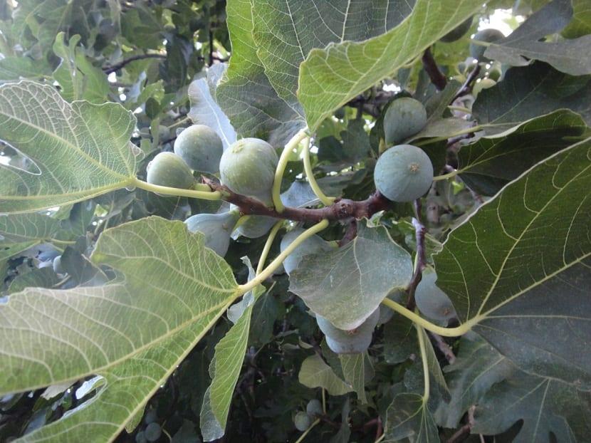 Cultivo del Cabrahigo