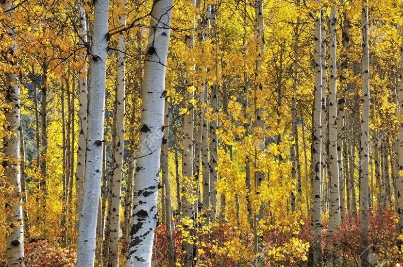Abedul blanco en otoño