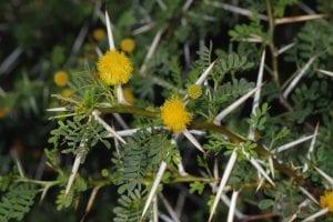 Espinas y hojas de la Acacia karoo