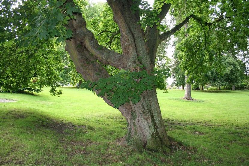 Vista del tronco de Acer platanoides