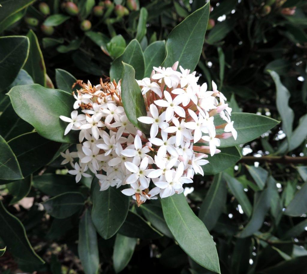 Flores de acocantera