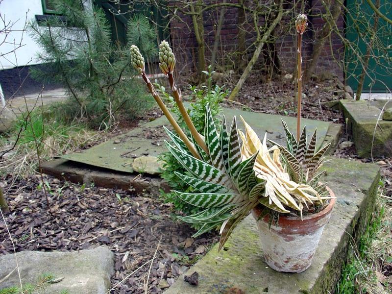 El Aloe variegata puede cultivarse en maceta