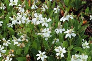 Planta Anemopsis californica