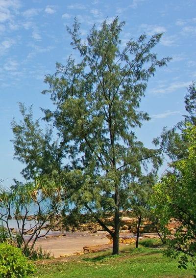 La Casuarina equisetifolia es un árbol de hoja perenne