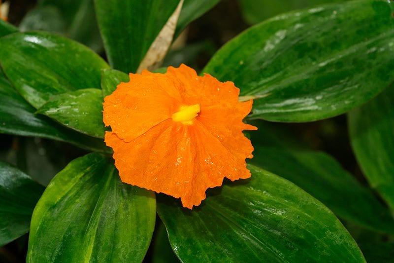 Planta de insulina en flor