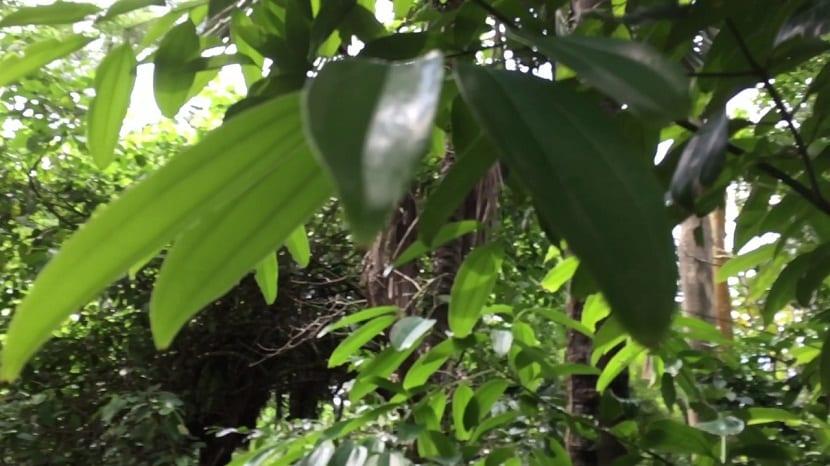 El árbol Cinnamomum Cassia es un pequeño arbusto perennifolio que cuenta con corteza papirácea y crece alrededor del 10 metros de alto