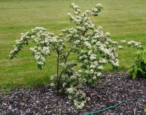 El Cotoneaster lacteus es un arbusto muy bonito