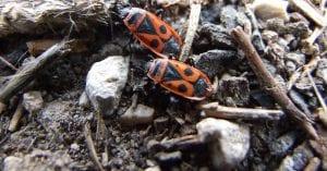 Daños a las plantas del insecto zapatero