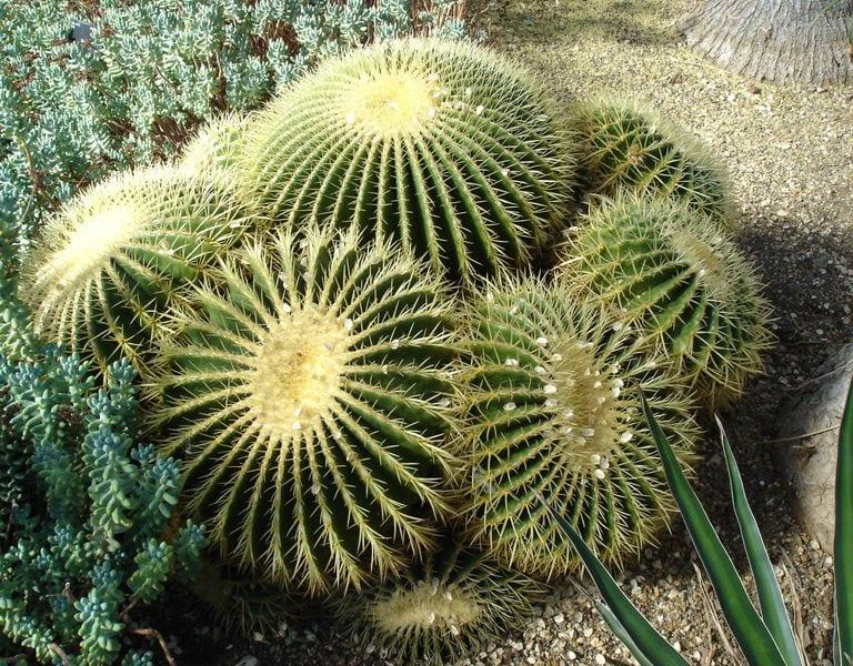 El Echinocactus grusonii puede sacar hijuelos