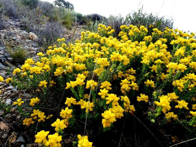 Las flores de la Genista hispanica son amarillas