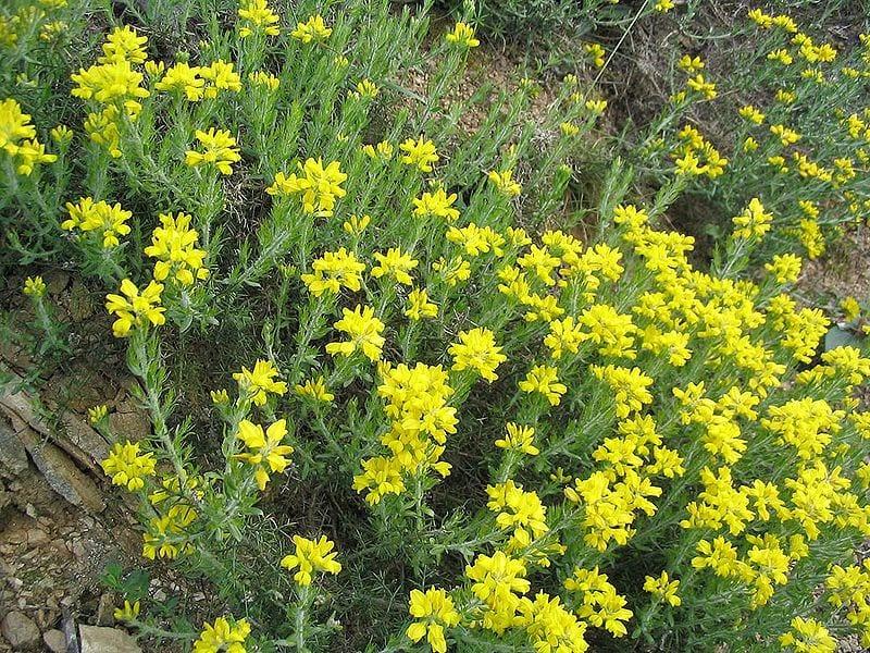 La planta de la Genista hispanica crece en campo abierto
