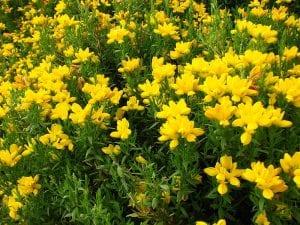 La Genista hispanica subsp occidentalis es una variedad fácil de cuidar