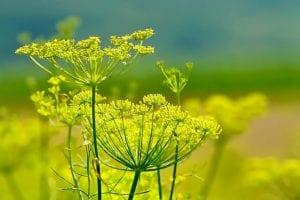 El hinojo consiste en una planta horticola herbacea y bianual