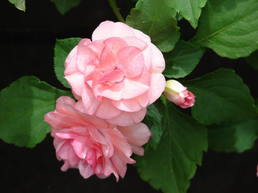 La Impatiens walleriana es una planta muy decorativa