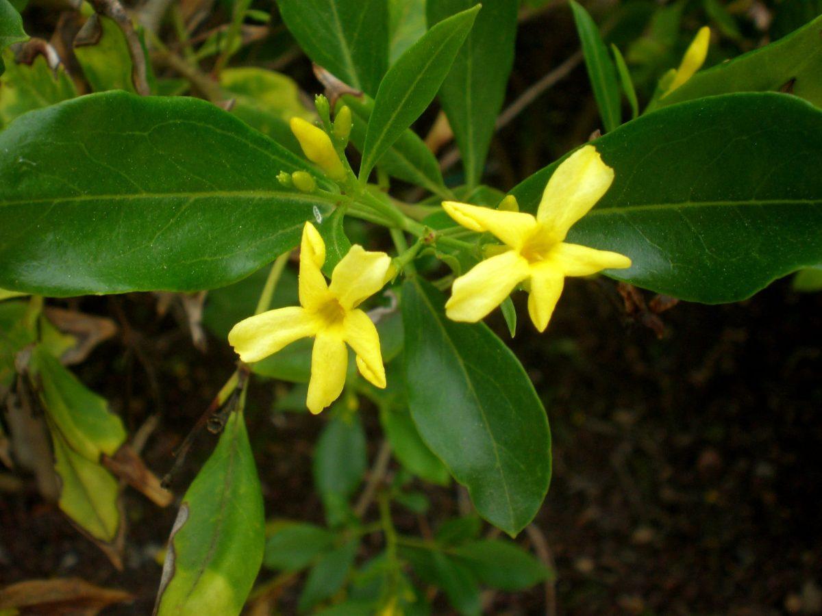 Jasminum odoratissimum, una planta de flores amarillas