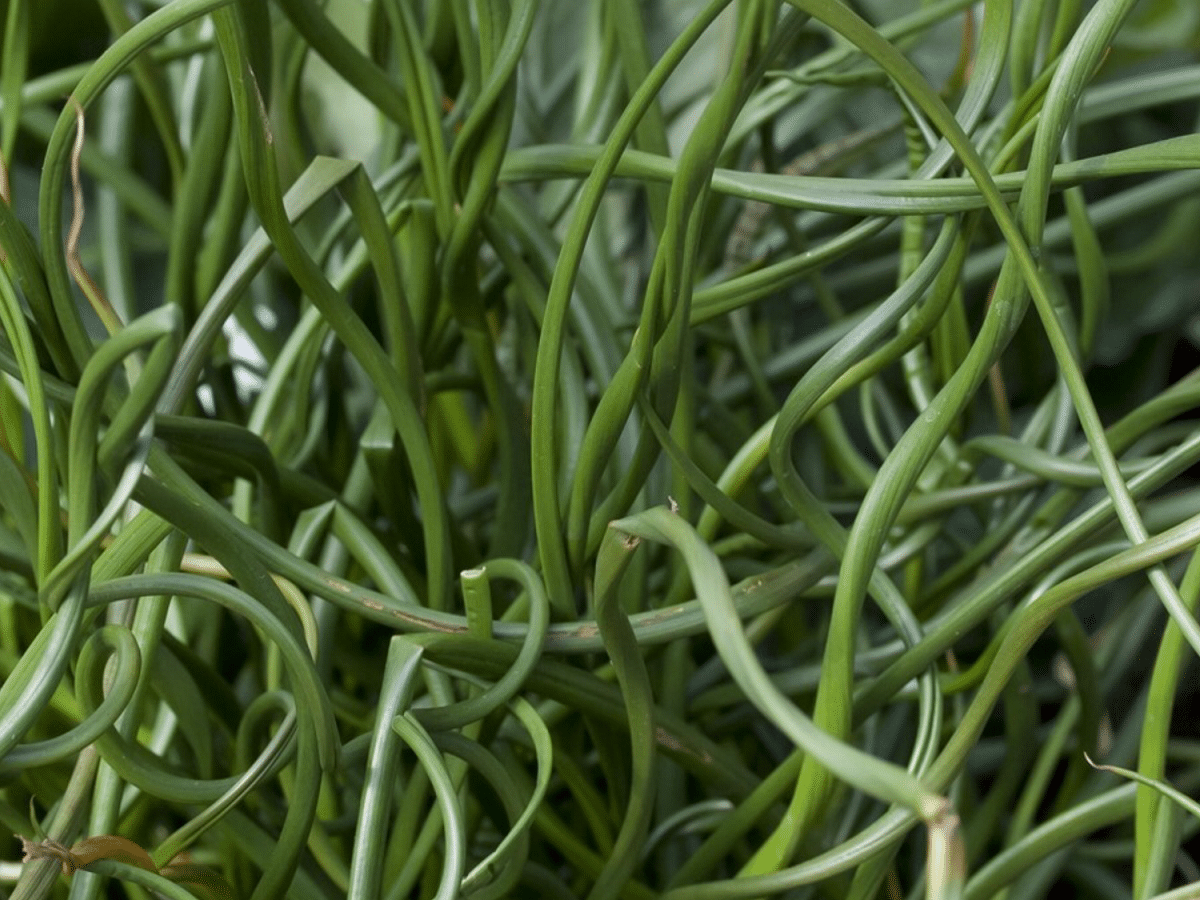 Juncus effusus Spiralis planta perfecta para estanques
