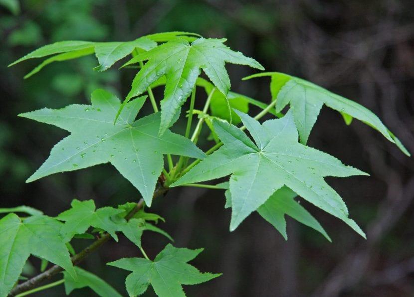 El liquidambar tiene hojas palmeadas