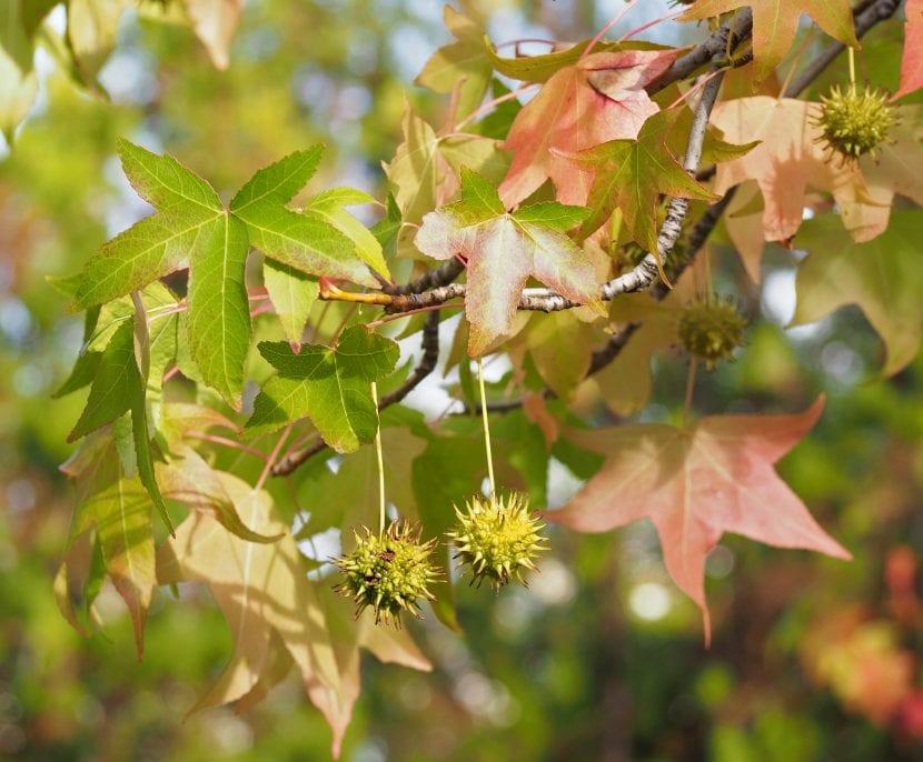 El Liquidambar styraciflua es un árbol de hoja caduca