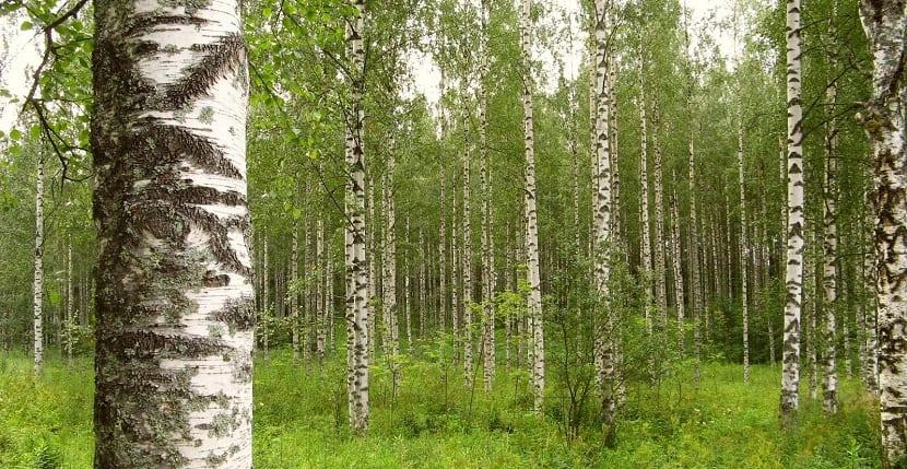 Caracter sticas cultivo y cuidados del abedul blanco betula alba - Abedul blanco ...