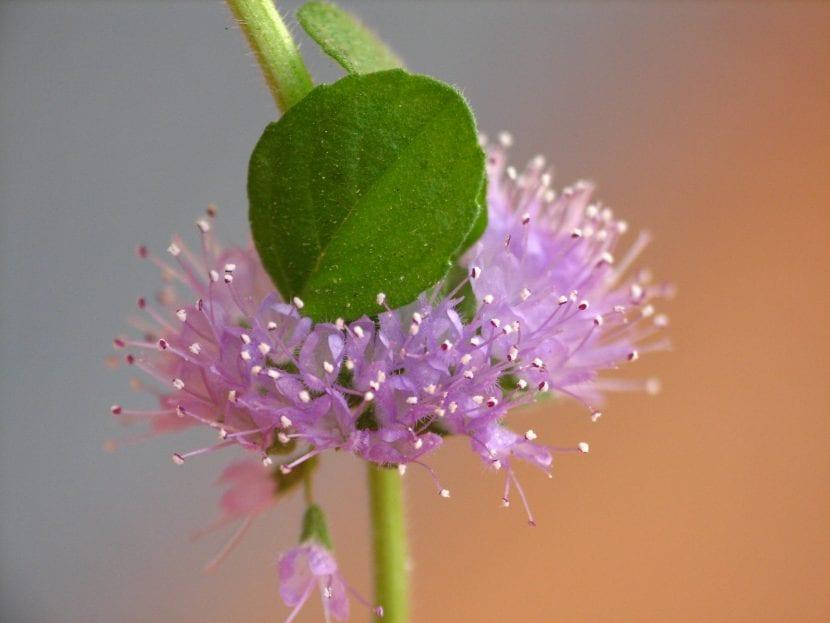 Las flores de la menta poleo son rosadas