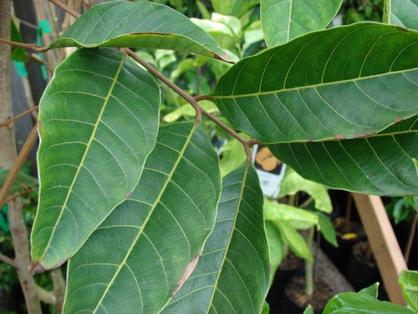 Las hojas del rambután son perennes