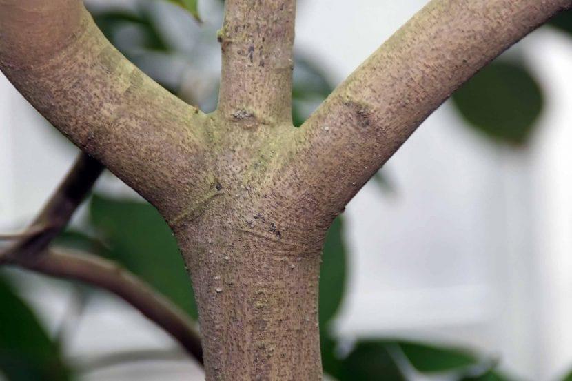 El tronco del rambután tiene la corteza lisa