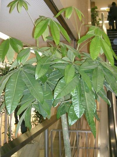 Planta de Pachira aquatica