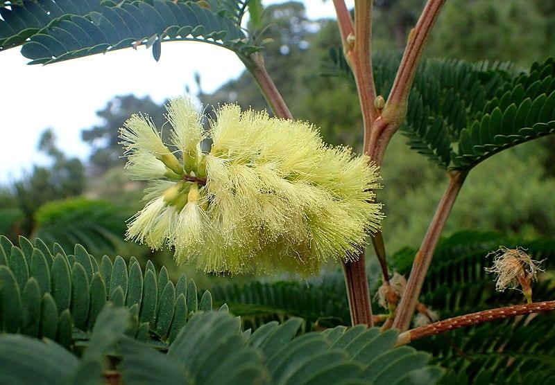 Flor de la acacia plumosa